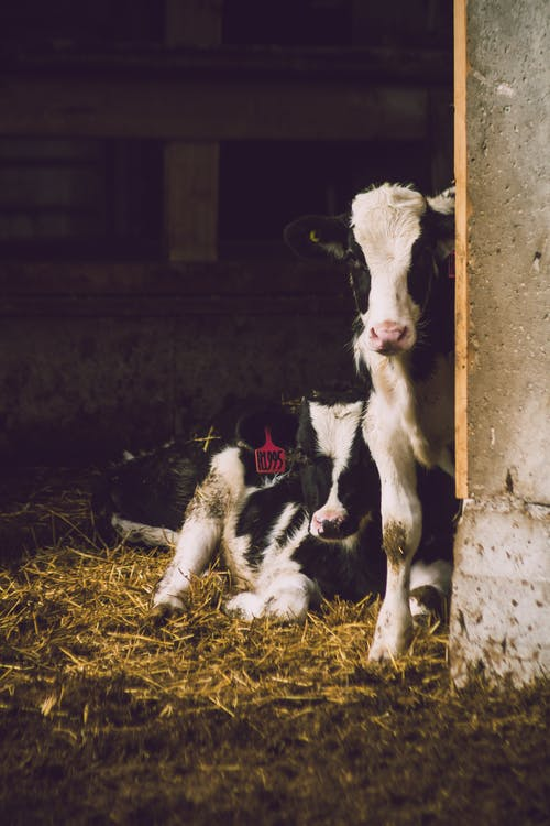 How Does a Cattle Farm Operate?